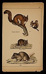 Common squirrel; House mouse; Rat