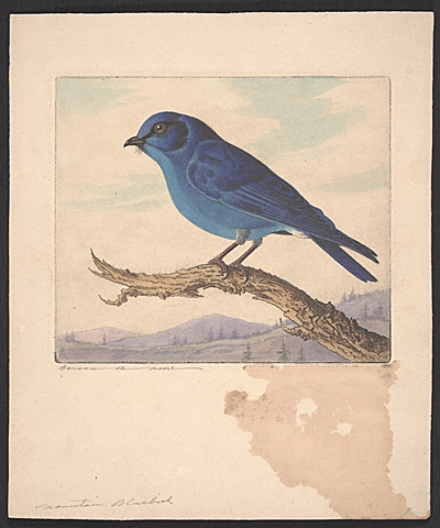 [Mountain Bluebird]