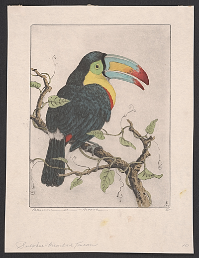 [Sulphur-breasted [i.e. Sulfur-breasted] Toucan]