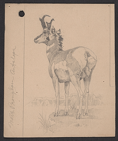 [Male Pronghorn Antelope]