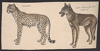 [Cheetah, and Side-striped Jackal]