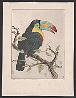 [Sulphur-breasted [i.e. Sulfur-breasted] Toucan ]