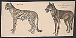 [Cheetah, and Side-striped Jackal ]