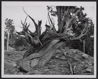 [Russell Lee, Apache County, Arizona, April 1940. Twisted mountain juniper.]