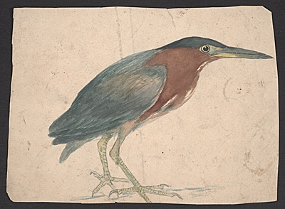 [Sketch of a Green Heron]