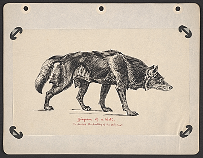 Diagram of a wolf to illustrate the anatomy of a hairy coat